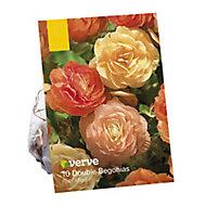 Begonia double pastel mix Flower bulb