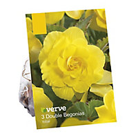 Begonia double yellow Flower bulb