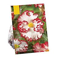 Begonia crispa marginata red & white Flower bulb