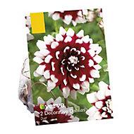 Dahlia decorative Duet Flower bulb