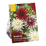 Dahlia cactus mixed Flower bulb
