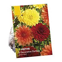 Dahlia decorative mixed Flower bulb