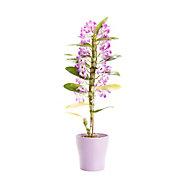 Dendrobium nobile orchid in 12cm Pot