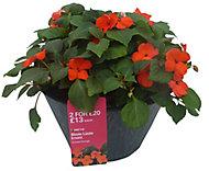 Imara Bizzie lizzie Planted container
