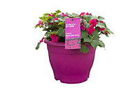 Verve Assorted Imara bizzie lizzie planted container in Mixed pack