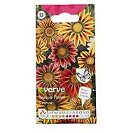Verve Treasure flower sunshine daisy Seed