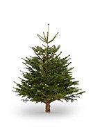 120-150cm Nordmann fir Cut christmas tree