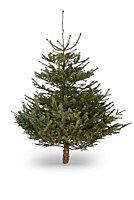 150-180cm Nordmann fir Cut christmas tree