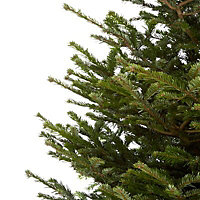 210-240cm Nordmann fir Cut christmas tree