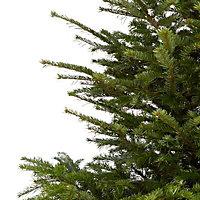 240+cm Nordmann fir Cut christmas tree