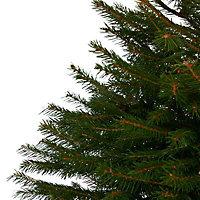 Norway spruce Pot grown Christmas tree 80-100cm
