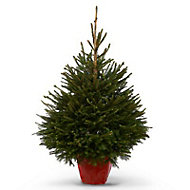Norway spruce Pot grown Christmas tree 120-150cm
