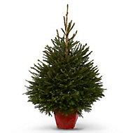 Norway spruce Pot grown Christmas tree 150cm+