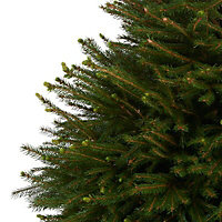Norway spruce Pot grown Christmas tree 150cm+