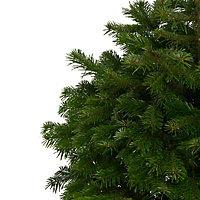 Nordmann fir Pot grown Christmas tree 80-100cm