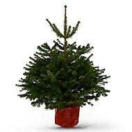 Nordmann fir Pot grown Christmas tree 120-150cm