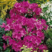 Verve Azalea japonica