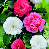Assorted Camellia in Pot