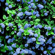 Blue Ceanothis in Pot
