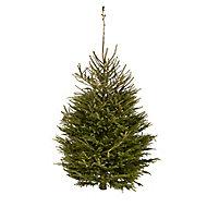 180-210cm Norway spruce Cut christmas tree