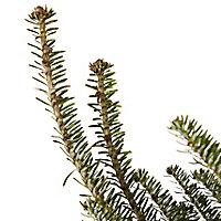 180-210cm Fraser fir Cut christmas tree