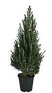 Serbian spruce Pot grown Christmas tree 40-60cm