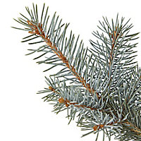 Blue spruce Pot grown Christmas tree 60-80cm