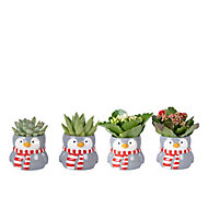 Assorted plants in 5.5cm Grey Novelty penguin Ceramic Pot