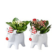 Assorted plants in 5.5cm Grey Reindeer Ceramic Pot