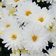6 cell Chrysanthemum Assorted XL Autumn Bedding plant, Pack of 2