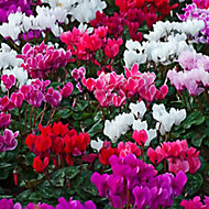 6 cell Cyclamen Berrylicious Autumn Bedding plant, Pack of 2