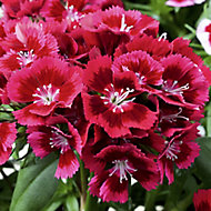 6 cell Dianthus Sweet William Autumn Bedding plant, Pack of 2