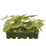 6 cell Geranium Bulls Eye Summer Bedding plant, Pack of 2