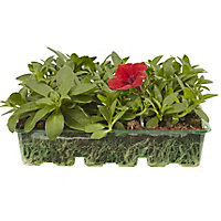 6 cell Petunia Trailing Surfina Summer Bedding plant, Pack of 2