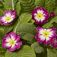 6 cell Primrose Mixed Autumn Bedding plant, Pack of 2