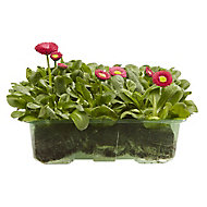 9 cell Bellis Red Spring Bedding plant, Pack of 4