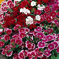 9 cell Dianthus Festival Autumn Bedding plant, Pack of 4