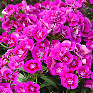 9 cell Dianthus Sweet William mixed Autumn Bedding plant, Pack of 4
