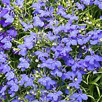 9 cell Lobelia Light Blue Summer Bedding plant, Pack of 4