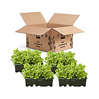 9 cell Lobelia Trailing Raindrops Summer Bedding plant, Pack of 4