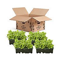 9 cell Lobelia Trailing White Summer Bedding plant, Pack of 4