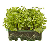 9 cell Lobelia Upright White Lady Summer Bedding plant, Pack of 4