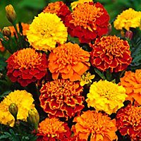 9 cell Marigold Bonanza Summer Bedding plant, Pack of 4