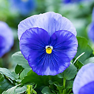 9 cell Pansy Blue Shades mix Autumn Bedding plant, Pack of 4