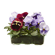 9 cell Pansy Fruits of the forest Spring Bedding plant, Pack of 4