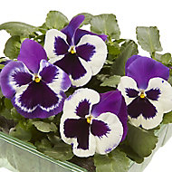 9 cell Pansy Mixed Autumn Bedding plant, Pack of 4