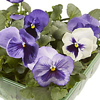 9 cell Pansy Mixed Spring Bedding plant, Pack of 4