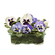 9 cell Pansy Moonlight Spring Bedding plant, Pack of 4