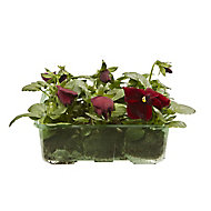 9 cell Pansy Red with blotch Spring Bedding plant, Pack of 4
