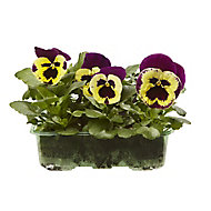 9 cell Pansy Yellow purple wing Spring Bedding plant, Pack of 4